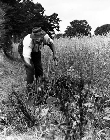 Labourer cutting hay by hand c.1900.